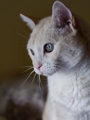 Pedro (elisa.ristori78) Tags: animal cat portrait portraiture nikon feline aninalplanet animalface enimaleye enimalsnout domesticcat