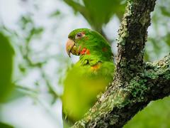 Psittacara leucophtalmus (Italo Aleixo) Tags: aves cerrado maritaca papagaio forest birds nature biology biodiversity animals