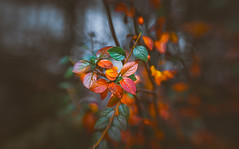 Winter leaves series - 10 (Dhina A) Tags: sony a7rii ilce7rm2 a7r2 a7r lensbaby composer pro sweet 50 optic 50mm lensbabycomposerpro f25 bokeh art lens 2elements 1group manual focus emount creative photography blur manualfocus winter leaves series