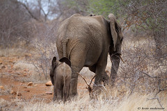 Uncertain Future! (leendert3) Tags: leonmolenaar southafrica krugernationalpark wildlife wilderness wildanimal nature naturereserve naturalhabitat mammals africanelephant ngc npc