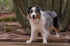 Guardian of the Cacti (Jasper's Human) Tags: aussie australianshepherd dog cactus desert desertbotanicalgarden