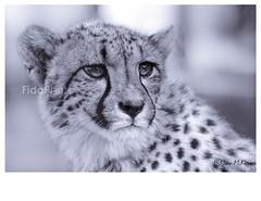 Cheetah Portrait (Mono) (FidoPhoto (John McKeen)) Tags: cheetah cheetahs animal animalportrait animals animalportraiture animaleyes feline bigcat bigcats wildlife wildlifephotography wildanimal wildanimals wild africa africananimal africanwildlife johannesburg southafrica copyrightjohnmckeen