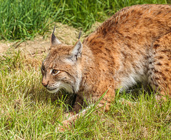 _MG_7111.jpg (Meredith Lewis) Tags: sunshine sunny lynx thebigcatsanctuary mammal greatbritain cat kent spot unitedkingdom hair gb fur britain spots england grass eurasionlynx tuft sunlight eye europe uk lynxlynx smarden