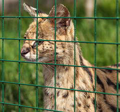 _MG_7138.jpg (Meredith Lewis) Tags: sunshine sunny stripes england thebigcatsanctuary gb serval stripey cat kent spot unitedkingdom mammal fence leptailurusserval britain fur spots stripe greatbritain grass sunlight eye europe uk hair smarden