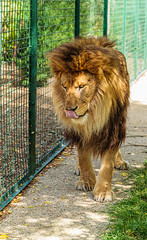 _MG_7149.jpg (Meredith Lewis) Tags: sunshine sunny england thebigcatsanctuary gb greatbritain cat kent lion unitedkingdom pantheraleo fur britain hair tongue mane mammal sunlight eye europe uk fence smarden
