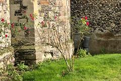 Churchyard Rose (RobW_) Tags: wild rose churchyard stmarys church chilham kent england tuesday 05nov2019 november 2019
