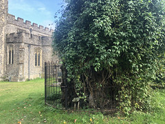Ancient Yew Tree (RobW_) Tags: ancient yew tree stmarys church chilham kent england tuesday 05nov2019 november 2019