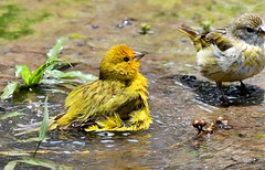 Bathtime for some Saffron Finches - the Pantanal Wetlands, Brazil. (One more shot Rog) Tags: saffron finch birds finches beak beals feathers bathes bath birdbath saffronfinch onemoreshotrog rogersargentwildlifephotography splash splashed baths wings pantanal portjoffrey wertlands pantanalwetlands thepantanal yellow yellows canary song vibrant colour puddle water wash washes washing flutters