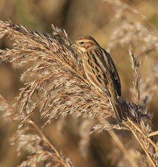 Female Reed Bunting II - from the Zeiss Hide (glostopcat) Tags: reedbunting bunting bird songbird wildlife glos winter december slimbridge wildfowlwetlandstrust