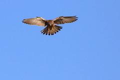 Kestrel hovering (robin denton) Tags: falcotinnunculus wildlife kestrel birdofprey bird falcon nature yorkshire