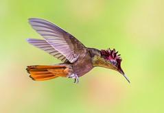 Ruby Topaz Hummingbird in flight dancing in the air, Tucusito Rubi, Trinidad (pedro lastra) Tags: hummingbird trinidad colombia florida flight macro tropical bird america trochilidae aves chordata apodiformes