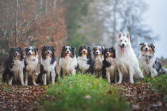 The Shepherds (der_peste (on/off)) Tags: dogs australianshepherds aussies whiteshepherd shepherds shepherd canine hund hütehunde dof blur bokeh animal pet pets