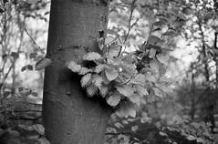 Autumn tree (auqanaj) Tags: 20191112bis2011115 leicam3 leitzwetzlarsummicronc1240 test analog blackandwhite doublestroke film meinfilmlab monochrome schwarzweis wwwmeinfilmlabde ilfordhp5plus400 nature fagus rotbuche beech fagussylvatica bokeh nofurtherprocessing