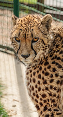 _MG_7087.jpg (Meredith Lewis) Tags: sunshine sunny stripe england thebigcatsanctuary mammal greatbritain cat kent acinonyxjubatusjubatus spot unitedkingdom hair fur britain gb acinonyxjubatus spots cheetah southernandeasternafricancheetah sunlight eye europe uk fence smarden