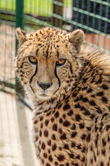 _MG_7089.jpg (Meredith Lewis) Tags: sunshine sunny stripe england thebigcatsanctuary mammal greatbritain cat kent acinonyxjubatusjubatus spot unitedkingdom hair fur britain gb acinonyxjubatus spots cheetah southernandeasternafricancheetah sunlight eye europe uk fence smarden