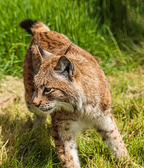 _MG_7117.jpg (Meredith Lewis) Tags: sunshine sunny lynx thebigcatsanctuary mammal greatbritain cat kent tail spot unitedkingdom spots hair fur britain gb england grass eurasionlynx tuft sunlight eye europe uk lynxlynx smarden