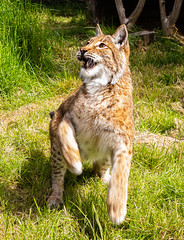 DSC06235.jpg (Meredith Lewis) Tags: sunshine sunny lynx thebigcatsanctuary mammal greatbritain cat kent hair spot unitedkingdom spots gb fur britain england teeth grass eurasionlynx tuft sunlight eye europe uk lynxlynx smarden