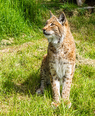 DSC06236.jpg (Meredith Lewis) Tags: sunshine sunny lynx thebigcatsanctuary mammal greatbritain cat kent spot unitedkingdom hair gb fur britain spots england grass eurasionlynx tuft sunlight eye europe uk lynxlynx smarden