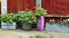 Pot Plants (RobW_) Tags: november plants wednesday garden kent canterbury pots 2019 06nov2019 england