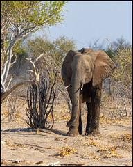 African Bush Elephant (John R Chandler) Tags: africanbushelephant africanelephant animal botswana elephant loxodontaafricana mammal okavangodelta khwai northwestdistrict