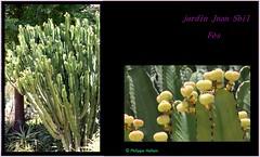 Le monde entier est un cactus Il est impossible de s'asseoir Dans la vie, il y a qu'des cactus Moi je me pique de le savoir Aïe aïe aïe! Ouille! Aïe aïe aïe! (philippedaniele) Tags: ajouter des tags maroc fes el bali jardins parc végétation fleurs cactus plantesgrasses jardinjnansbil euphorbe plantesucculente
