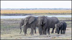 African Bush Elephants (John R Chandler) Tags: africanbushelephant africanelephant animal botswana chobenationalpark choberiver elephant herd loxodontaafricana mammal river chobe northwestdistrict