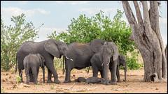 Snooze Time (John R Chandler) Tags: africanbushelephant africanelephant animal botswana chobenationalpark elephant herd loxodontaafricana mammal chobe northwestdistrict