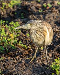 Squacco Heron (John R Chandler) Tags: animal ardeolarufiventris bird botswana chobenationalpark heron squaccoheron chobe northwestdistrict