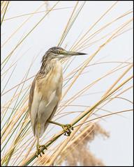 Squacco Heron (John R Chandler) Tags: animal ardeolarufiventris bird botswana heron lagoon moremigamereserve okavangodelta squaccoheron xakanaxa xakanaxalagoon northwestdistrict