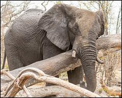 Scratch that Itch (John R Chandler) Tags: africanbushelephant africanelephant animal botswana bull elephant loxodontaafricana male mammal moremigamereserve okavangodelta northwestdistrict