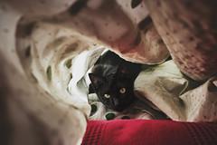 Benito under fabrics (miguel_osvaldo) Tags: cat kitten benito blackcat fujifilm xt2 eyes hidden pet animal panther ninjacat