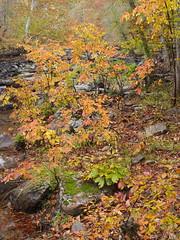 A rainy autumn day on the Eno (4) (baro-nite) Tags: enoriver centralnorthcarolina fallcolor persimmon pentax k1 smcpentaxa11250mm iridientdeveloper