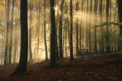 visible silence (Rita Eberle-Wessner) Tags: forest wald woods zauberwald magic strahlen beams sunbeams sunrays tyndalleffect bäume trees laub laubbäume buchen herbst fall autumn odenwald forestlovers nature natur green grün sonnenstrahlen