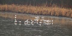 Frozen..2..Warnham Nature Reserve (Adam Swaine) Tags: ice frozen mist lakes naturelovers nature rspb birds englishbirds britishbirds terns england english wildlife sussex adamswaine britain british canon naturewatcher naturereserve flora