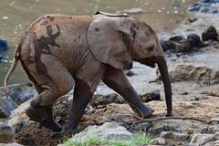 super cute calf... (cirdantravels (Fons Buts)) Tags: southafrica zuidafrika fonsbuts cirdantravels wildlife wildlifephotography nature natuur natur naturalhabitat wildanimal natural nikond850 olifant éléphant elefant elephant endangeredspecies bedreigdediersoort