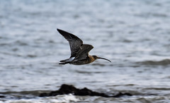 Curlew flying across Dumpton Gap (philbarnes4) Tags: curlew coast coastline flying flight wings dumptongap broadstairs thanet kent england nikon nikond5600