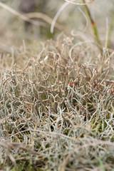 Cladonia rangiformis (Reindeer Lichen) - Cladoniaceae - Blakeney Point NNR, Norfolk, UK (Nature21290) Tags: blakeneypointnnr cladonia cladoniarangiformis cladoniaceae coast lichen norfolk october2019 sanddunes uk