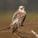 The Ghostly eyes of the Black Winged Kite
