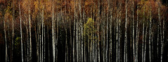 Standing tall (TrondSphoto) Tags: otta norway fall foliage trondsphoto