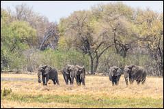 African Bush Elephants (John R Chandler) Tags: elephant animal botswana africanelephant africanbushelephant landscape mammal herd loxodontaafricana okavangodelta northwestdistrict khwai prideofafricatentedcamp