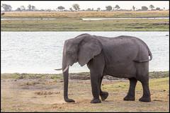 African Bush Elephant (John R Chandler) Tags: africanbushelephant africanelephant animal botswana chobenationalpark choberiver elephant loxodontaafricana mammal river chobe northwestdistrict