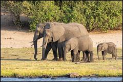 African Bush Elephants (John R Chandler) Tags: africanbushelephant africanelephant animal botswana chobenationalpark choberivercruise elephant loxodontaafricana mammal river kasane northwestdistrict