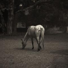 Wildling (l'imagerie poétique) Tags: wildhorse gratitude film 120film mediumformat squareformat ishootfilm magicencounter thestuffofdreams bronicasqa zenzanon180mmf45 ilforddelta400