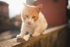 猫 (fumi*23) Tags: ilce7rm3 sony sel35f18f emount 35mm fe35mmf18 feline a7r3 animal alley katze cat gato neko bokeh ねこ 猫 ソニー 路地