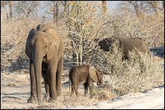 African Bush Elephants (John R Chandler) Tags: africanbushelephant africanelephant animal botswana calf elephant female loxodontaafricana mammal okavangodelta khwai northwestdistrict