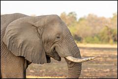 African Bush Elephant (John R Chandler) Tags: africanbushelephant africanelephant animal botswana elephant khwai khwaiconcession loxodontaafricana mammal okavangodelta northwestdistrict