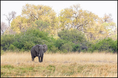 African Bush Elephant (John R Chandler) Tags: africanbushelephant africanelephant animal botswana elephant khwai landscape loxodontaafricana mammal okavangodelta prideofafricatentedcamp northwestdistrict