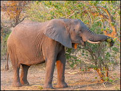 African Bush Elephant (John R Chandler) Tags: africanbushelephant africanelephant animal botswana chobenationalpark elephant loxodontaafricana mammal chobe northwestdistrict