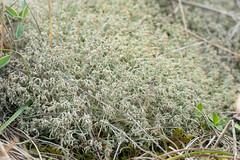 Cladonia ciliata - Cladoniaceae - Blakeney Point NNR, Norfolk, UK (Nature21290) Tags: cladonia cladoniaciliata cladoniaceae coast norfolk october2019 sanddunes uk