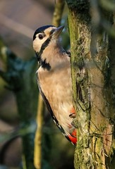 Woody (kchallenger.challenger) Tags: great spotted woodpecker calke abbey nationaltrust birds birdlife ukbirds birdphotography nature naturephotography uknature wildlife wildlifephotography ukwildlife ukbirdphotos countryside